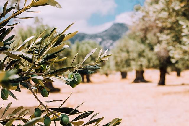 Comment est fabriquée l'huile d'olive ?